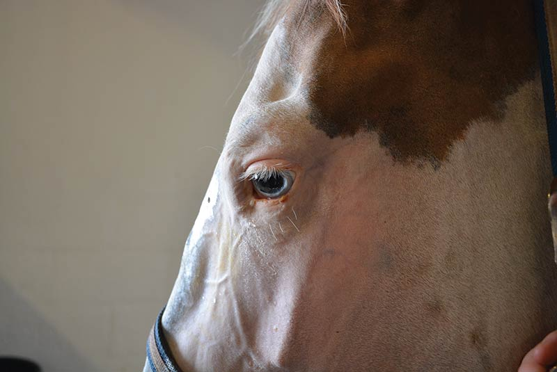 Special Paint's Eyes Saved by Laser Treatment